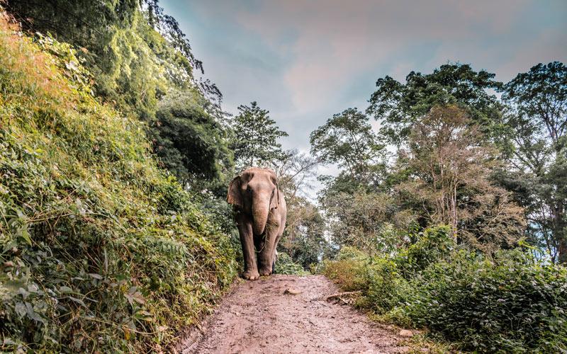 éléphant chemin terre Chiang Mai Thaïlande